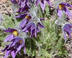 The Pasque Flower is the state flower of South Dakota.