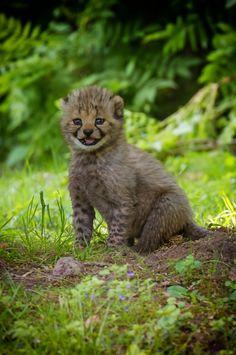 Smiling baby Cheetah