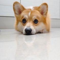 Find Out More On Playfull Pembroke Welsh Corgi Dgas Health Corgi Funny, Cute Corgi, Cute Puppies, Dogs And Puppies, Pembroke Welsh Corgi Puppies, Corgi Mix, Corgi Pups, Corgi Facts, Fluffy Corgi