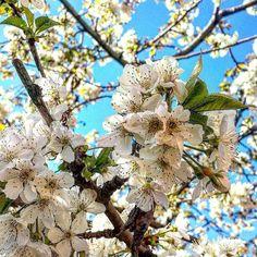 Today  #love #happiness #spring #flowers #sky #garden #primavera #ariadiprimavera #dettagli #pic #picoftheday #photography #nature #fiori #amazing #myhome #ciliegio #white - #ciauturin  Photo by @eleonorasassonereal
