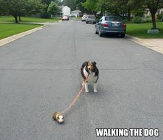 A Guinea Pig walking the dog...