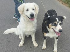 Found this pic of my paw-rents on a date : Dad (white retriever) and Mom (tri color border collie) - me not there yet... 🌈🌞🌟 #Sunnythedog #bordercolliesofinstagram#goldenretrieversofinstagram #bordercollie #goldenretriever #goldenborder#bordercolliemix #goldenretrieverpuppy #puppy #puppiesofinstagram #goldenborderretriever#ilovemydog #goldenbordercollie #bestwoof