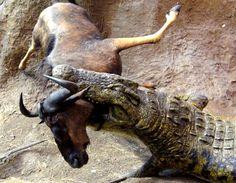 Nile crocodile with wildebeeste
