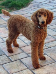 I think red standard Poodles are stunning and elegant on so many levels, so fortunate to have Miss Shelby. #poodle