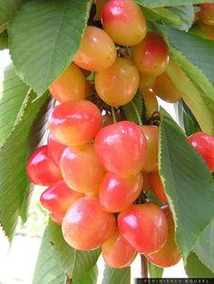 cherry - Prunus avium ' Napoleon '  http://www.pepinieres-rouxel.fr/plante/index/famille-rosaceae/genre-prunus/espece-avium/cultivar-napoleon/prunus-avium-napoleon