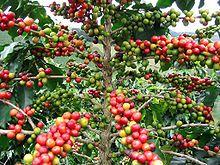Kaffee: Inhaltsstoffe aus dem Kaffee lösen eine Art Reinigungsprozess in den Zellen von Leber, Herz und in der Muskulatur des Skeletts aus. Diese Autophagie funktioniert allerdings nur, wenn man seinen Kaffee ohne Milch trinke. In der sei Methionin enthalten, eine Aminosäure, die den Aufräumprozess behindere. Madeo trinkt bis zu acht Tassen Kaffee am Tag, auch er hat dabei seine Forschungsergebnisse im Kopf. In seinen Kaffee gießt er nur Mandelmilch, ohne Zucker.