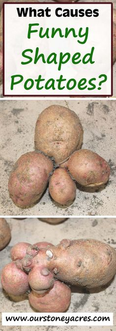 Why did you grow so many funny shaped potatoes? You see the pictures floating around the internet all the time. Potatoes that look like feet! Or snowmen or alien's. We all get a good laugh when we pull them out of our garden, but have you ever wondered what causes funny shaped potatoes?