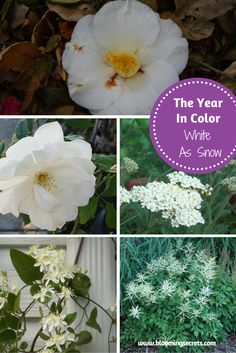 The Year in Color - our special monthly feature. January is the color white or White as snow. Learn about white flowers and which flowers are available throughout the year.