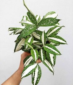 Read the full title Rare Dracaena Milkyway Tropical Plants Free Phytosanitary | DHL Express retail / wholesale