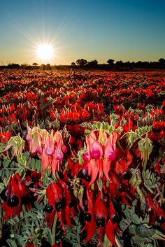 Julie Fletcher Photography - Sturt Desert Peas Australian Wildflowers, Australian Native Flowers, Australian Plants, Outback Australia, Australia Travel, Western Australia, Desert Plants, Tropical Plants, Australian Desert