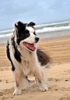 Not just smart b/c he is a border collie, but because he is also on the beach