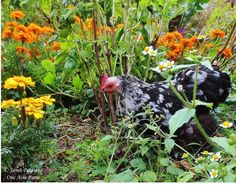 In early fall, I give my chickens the run of the our vegetable and herb garden. This bantam mottled cochin enjoys the diversity of plants and insect foods.