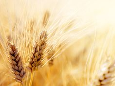 Climate change poses a serious threat to global wheat crops
