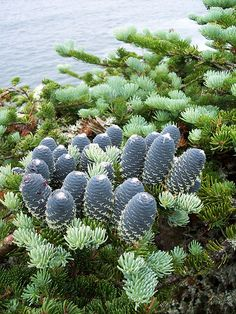 balsam fir | Flickr - Photo Sharing!
