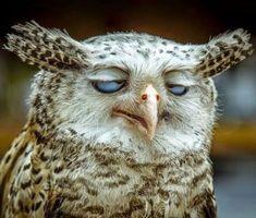 Funny Owls 11
