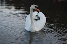 Vacation, Water, Lake, Bird, Pond, Swan #vacation, #water, #lake, #bird, #pond, #swan