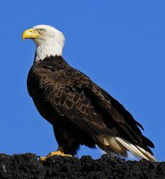 Virginia Bald Eagle by Lara Ellis Barrel Of Monkeys, Symbols Of Freedom, National Symbols, Bald Eagle, Trending Memes, Virginia, Cute Animals, Birds, Preschool Kindergarten