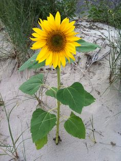 Sunflower on Sandbanks Beach