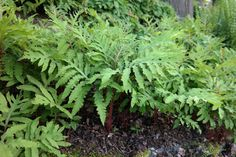 Onoclea sensibilis bolletjesvaren: .40 hoog, houd van veengrond(zuur), en (half)schaduw