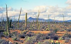 Paisaje desértico del Valle de los Cirios. El Cirio y el Cardón son las plantas características del lugar. El cardón puede llegar a alcanzar 15 metros.