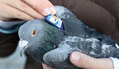 Homing Pigeon to deliver messages to other communes