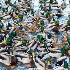What's up, duck? it's duck feeding time in Krasinski's Garden, Warsaw Poland