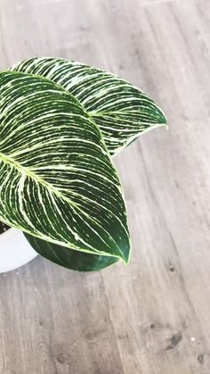 The Philodendron birkin is a rare gorgeous houseplant with dark green leaves. The beautiful leaves are variegated with a light yellow too. #botanicalbrunette #staybotanical #plant #plants #planty #planted #houseplant #homegarden #plantobsession #indoorjungle #botanical #brunette #blogger #blog #plantblog #containerplants #jungle #diy #plantdiy Beauty Tips For Hair, Beauty Makeup Tips, Man Cave Kitchen Ideas, Seductive Makeup, Easy House Plants, Rare Plants, Houseplant, Container Plants, Haircuts For Men