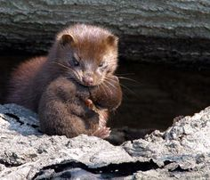 Mink mama and her baby. Who would want to kill these cute critters and wear them for vanity purposes? Not me!