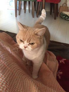 Mendova qe ishte e shtune por jooo ! I Love Cats, Cute Cats, My Spirit Animal, Beautiful Cats, Cat Art, Cats And Kittens, Cat Lovers, Cute Animals, Kitty