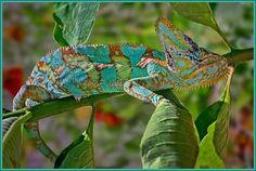 lindo camaleão colorido