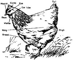 Everything you ever wanted to know about chicken keeping.