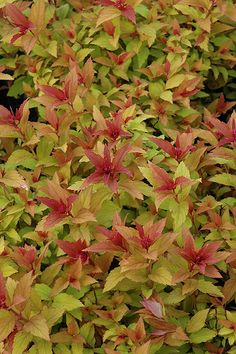 Click to view full-size photo of Goldflame Spirea (Spiraea x bumalda 'Goldflame') at Stein Gardens & Gifts