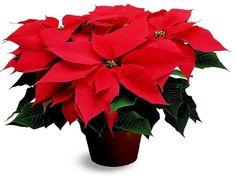 Jõulutäht - kasvatamine ja hooldamine