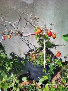 Rouge kaki (Diospyros Kyi) @ connaissances dans un large éventail de professionnel de la construction professionnelle et de la décoration en pot Curl Xuite log ::