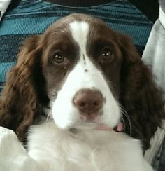 English Springer Spaniel pups at www.springerspaniels.biz