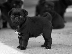 Black pugs are literally the cutest thing EVER.