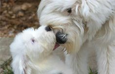 ''I Love you Mummy' - Old English Sheepdog Puppy giving it's Mother a Kiss