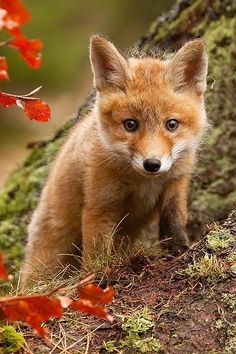 Fox kit by Robert Adamec.