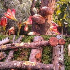 More log grown shiitake mushrooms, they fruit for years on eucy, year round. Growing Shiitake Mushrooms, Mushroom Cultivation, Permaculture, Fungi, Stuffed Mushrooms, Fruit, Instagram Posts, Crafts, Stuff Mushrooms