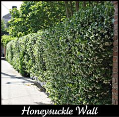 Honeysuckle to cover interior walls of garden - used to create aromatic cleaning solution -http://www.ehow.com/how_5721137_make-honeysuckle-extract.html