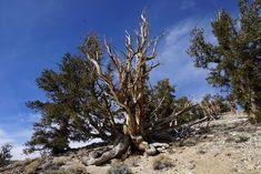 Bristlecone Pine Forest by Roxy