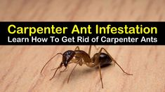 Learn how to get rid of carpenter ants naturally with these home remedies. The DIY pest control methods will help you deal with a carpenter ant infestation in the house. Learn how to use vinegar to deter ants and which plants will keep them at bay.