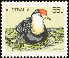 Comb-crested Jacana (Irediparra gallinacea)- Lotus Bird