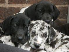Adorable Great Dane Puppies. For more cute puppies, check out our youtube channel: https://www.youtube.com/channel/UCH7efODYtEdnWfAm1eS4NMA