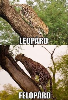 Leopárd Vicces képek #humor #vicces #vicceskep #vicceskepek #humoros #vicc #humorosvideo #viccesoldal #poen #bikuci Funny Animal Memes, Funny Animal Pictures, Funny Images, Funny Photos, Funny Animals, Funny Fails, Funny Jokes, W Two Worlds, Comedy Memes