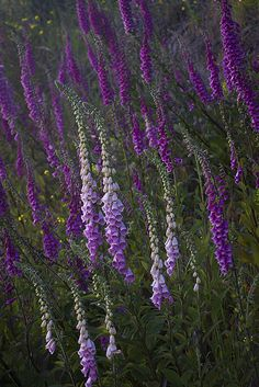 foxglove - Oregon coast | Digitalis heart medicine comes from this species but without dosage control foxglove is deadly.