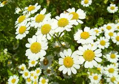 Best Herbs to Grow in your Medicinal Garden-Part 3: Chamomile officinalis