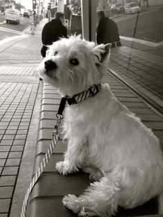 westie just sitting on the bench Could there be anything sweeter than a Westie