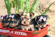 Available Micro Teacup Yorkies* Toy Yorkie Puppies* Yorkie Terrier Puppies *Parti Yorkie Puppies *Chocolate Yorkie Puppies *Merle Yorkie Puppies *Socal Yorkie Teacup Puppies Pomeranian Puppies For Free, Teacup Yorkie For Sale, Yorkie Puppy For Sale, Yorkie Puppies, Teacup Puppies, Toy Puppies, Terrier Puppies, Puppies For Sale, Dogs And Puppies