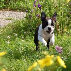 I need this boston terrier pup.